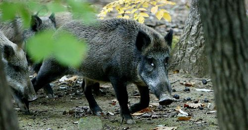 A South Korean boar in the wild.  They are bigger than I imagined.
