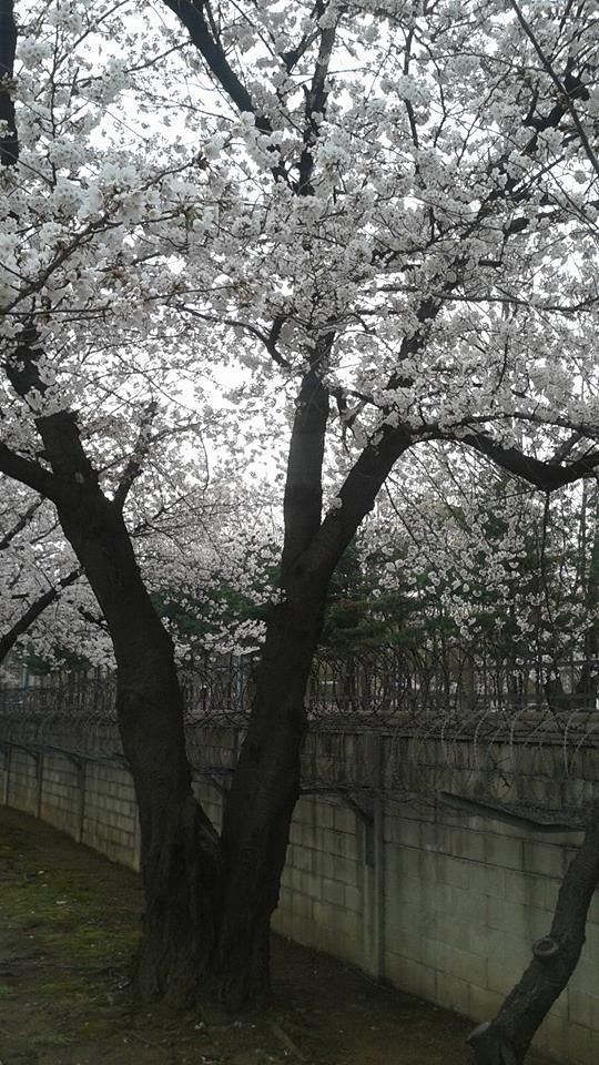 Blossoms and barbed wire, does it get any better than that?