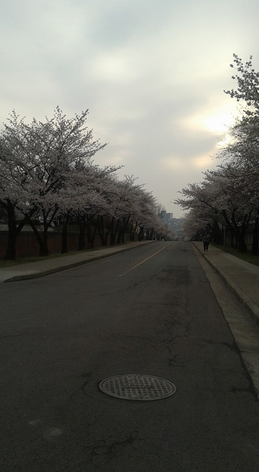 It's cherry blossom season.  This is the street I traverse on the way to the bus station at U.S. Army Garrison-Yongsan.
