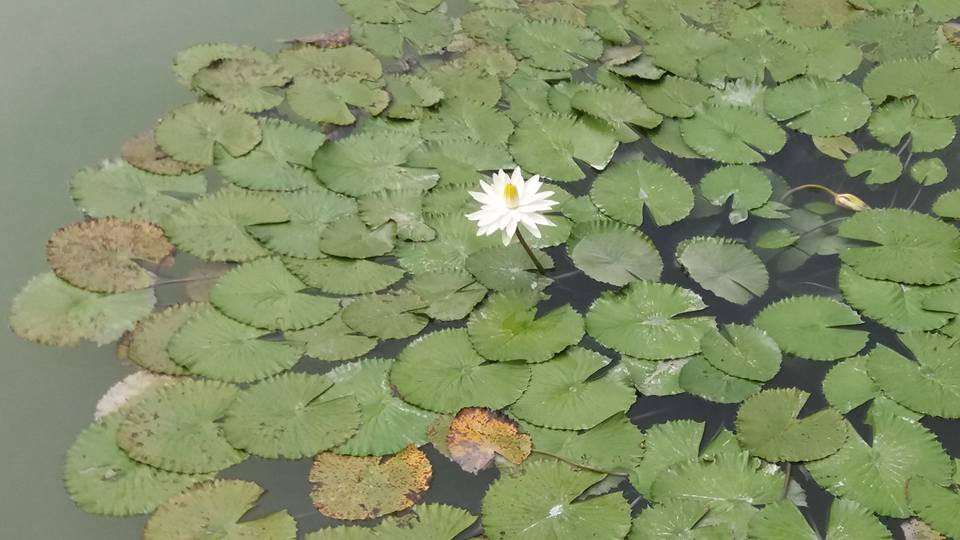 The obligatory water lily photo...