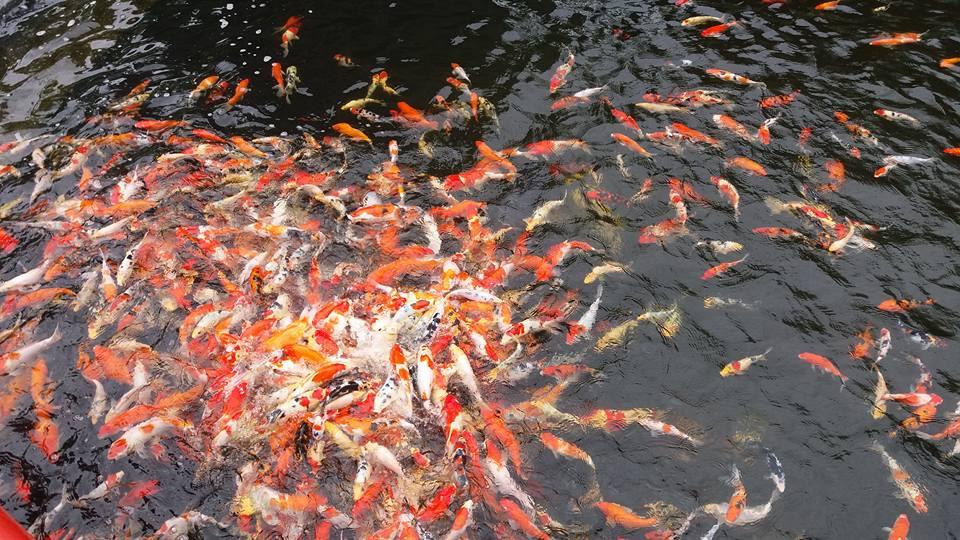 hungry goldfish...